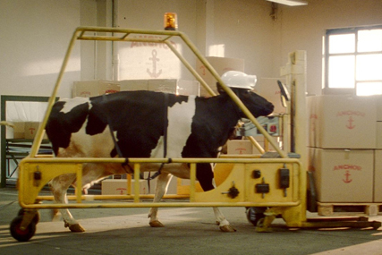 Anchor Butter: made by cows campaign