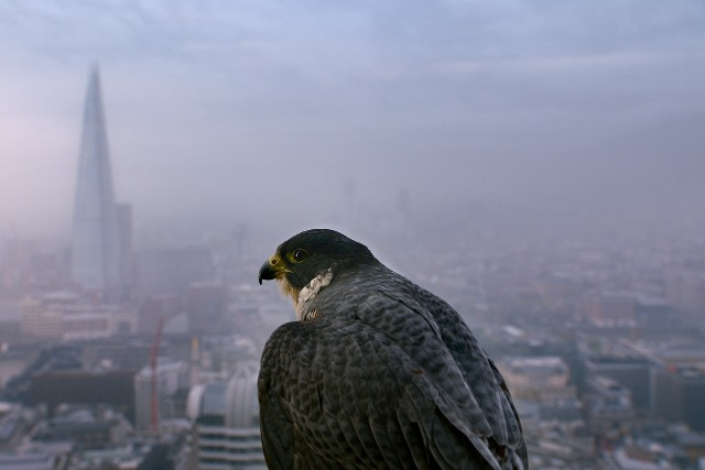 Samsung: fooling a falcon with the Galaxy Tab S