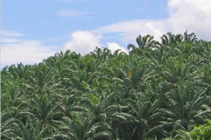 Brief for Pelham Bell Pottinger: Liberian palm oil