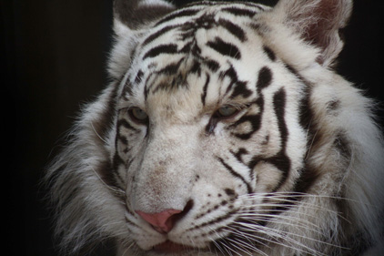 Endangered: the Siberian Tiger