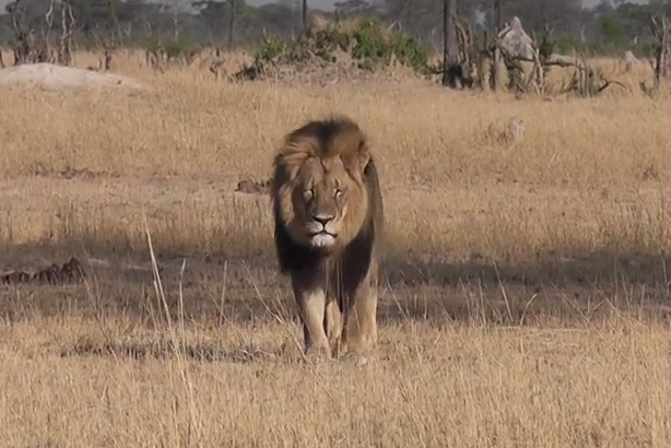 PETA, IFAW and WWF take different approaches to comms after Cecil the lion killing