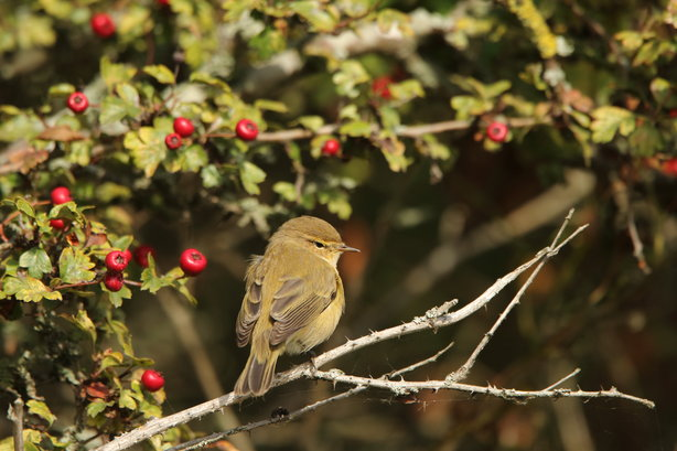 A chiffchaff at Walthamstow Wetlands, which is well on target to attract a quarter of a million visitors in year one