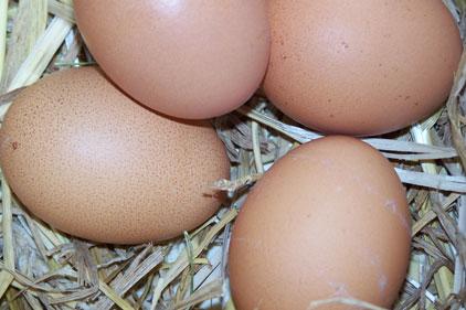 Avangard: Ukraine's largest egg producer