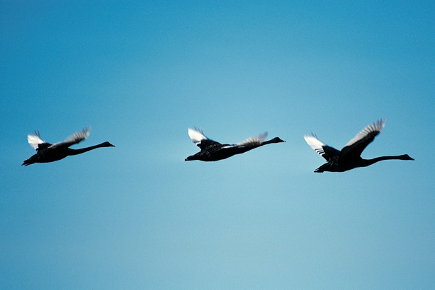 Black swans are circling overhead