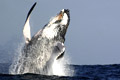 Humpback whales: endangered species