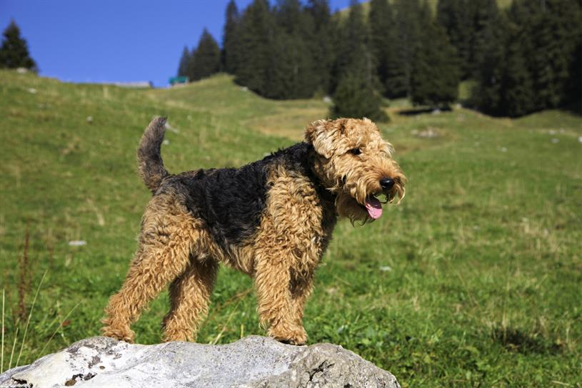 A Welsh terrier (not Richard Huntington's)