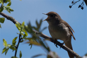Nightingales: present on proposed site