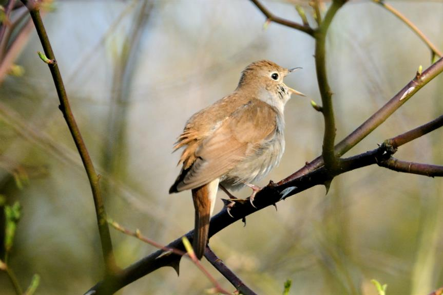 Lodge Hill has been designated an SSSI due to the presence of nightingales. Image: Kev Chapman