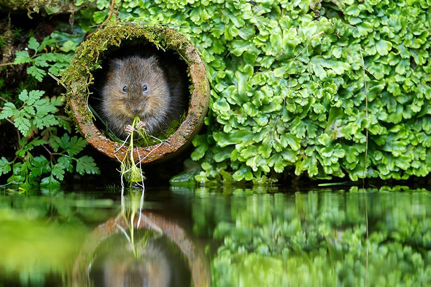 The water vole: a species whose habitat the government says will get better protection now the UK has left the EU ©Getty Images