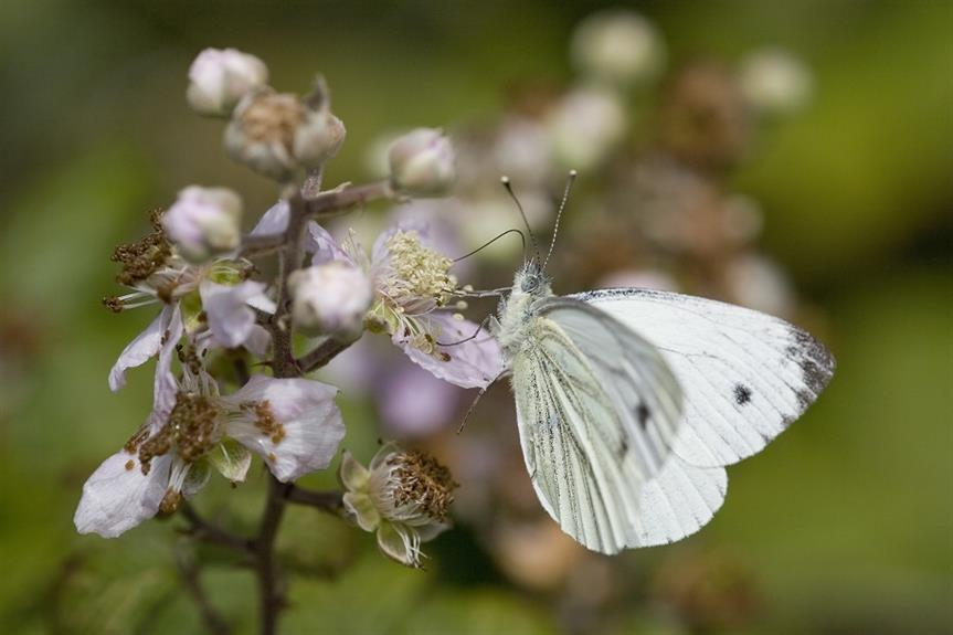 Biodiversity: small White butterfly (Pieris rapae) feeding on bramble blossom. Pic: Getty Images