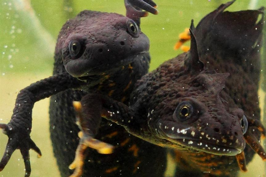 Female and male great crested newts - image: Wikimedia / Bouke ten Cate (CC BY-SA 4.0)
