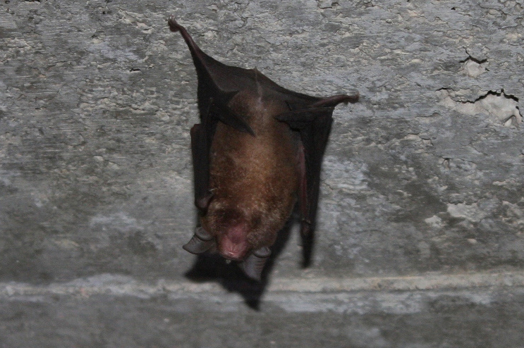 Greater horseshoe bats: parish council concerned about development impact on numbers
