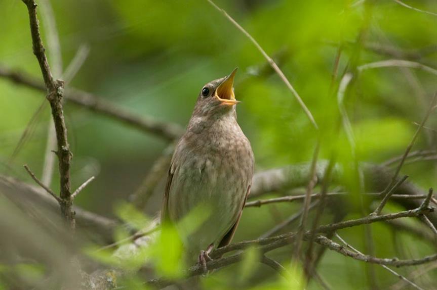 Nightingale (picture by Sergey Yeliseev)