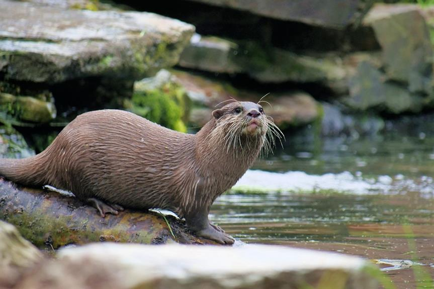The otter is a protected species in England - image: geograph / David Dixon (CC BY-SA 2.0)