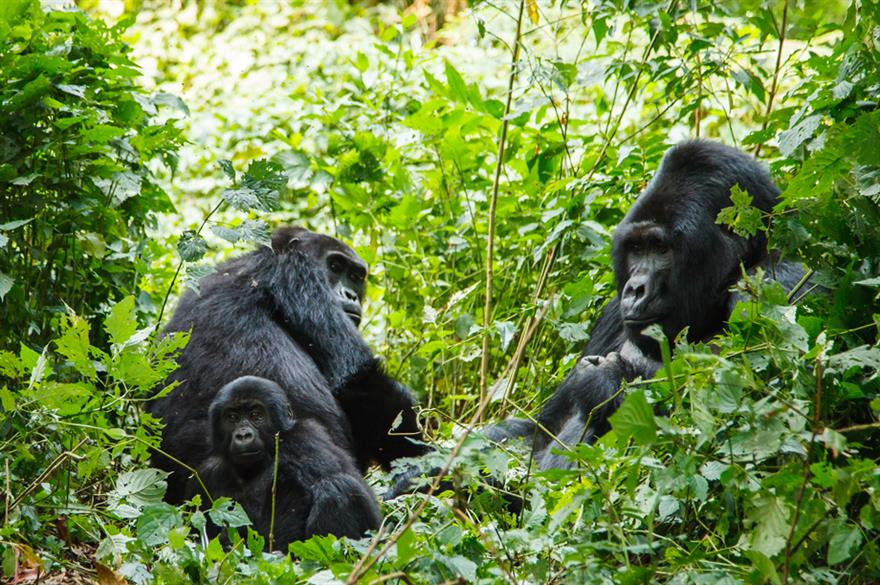 BI Worldwide will visit Gorillas in Rwanda, Africa to explore the destination's MICE appeal