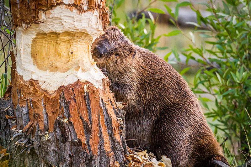 Beaver_GettyImages-1160279429.jpg
