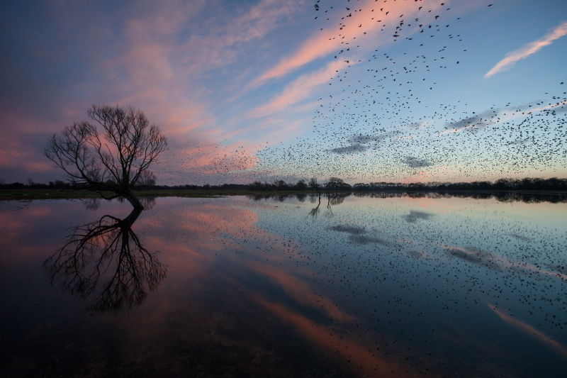 Starlings flying over Somerset Levels. Photograph: Nick Pound / Getty Images