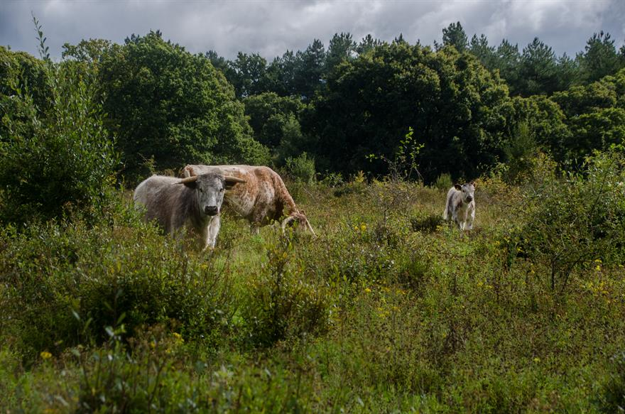 Old english longhorn cattle grazing at Knepp. Photograph: Knepp Wildland