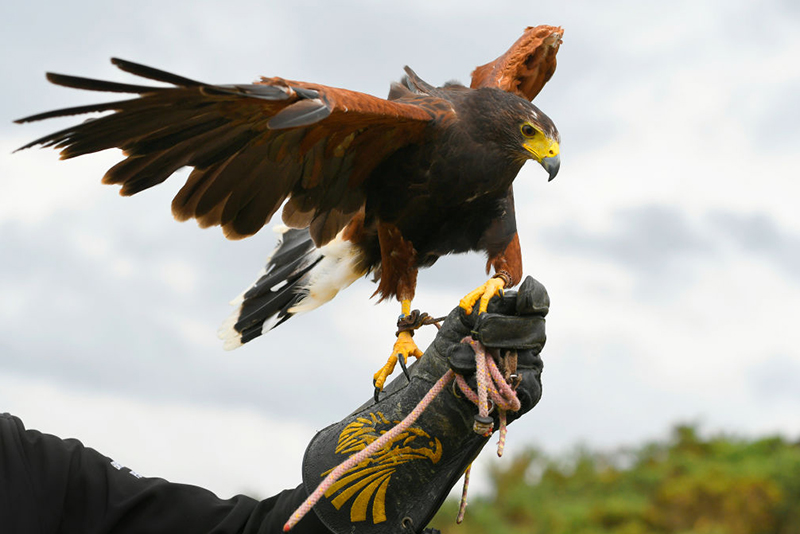 The Harris hawks are trained not to attack birds but should act as a deterrent, says HS2 Ltd (Photo by Stan Badz/R&A/R&A/PGA TOUR via Getty Images)