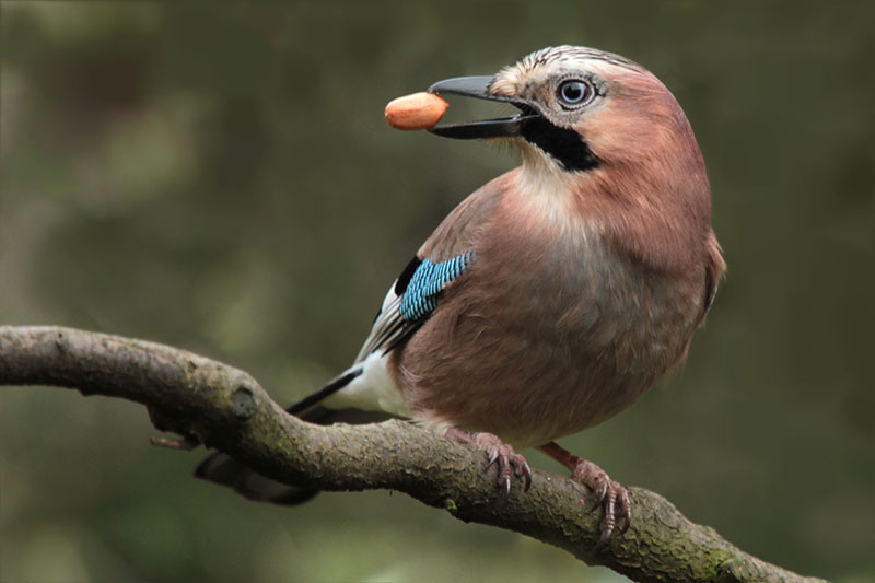 The jay, part of the crow family, is one of 16 bird species that used to be on the general licence list