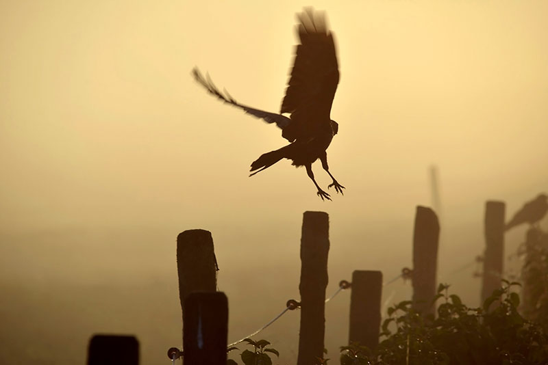Rural campaign groups have objected to Natural England's new general license for controlling carrion crows. Photograph: Westend61/Getty Images