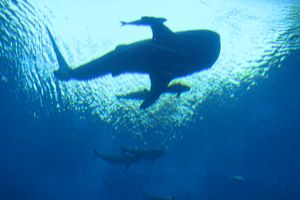 Atlantis, The Palm: urged to release whale shark