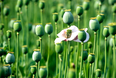 Naturally occurring opioid analgesics, including morphine, are derived from the opium poppy    SCIENCE PHOTO LIBRARY