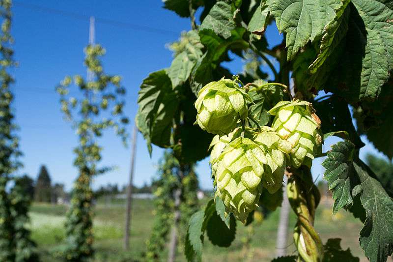 Hops are a main source of biowaste for Högl
