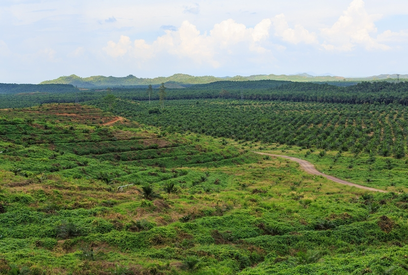 A palm-oil plantation