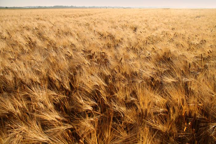 Barley husks power the facility