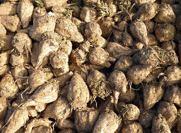 Sugar beets are the main feedstock for the plant