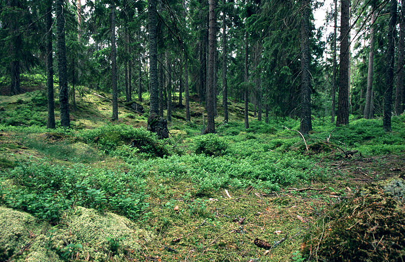 Swedish forests could provide heat and transport fuel for the country, if tax was cut