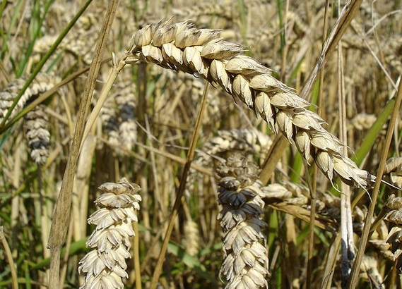 Wheat is no longer allowed as a feedstock for AD plants