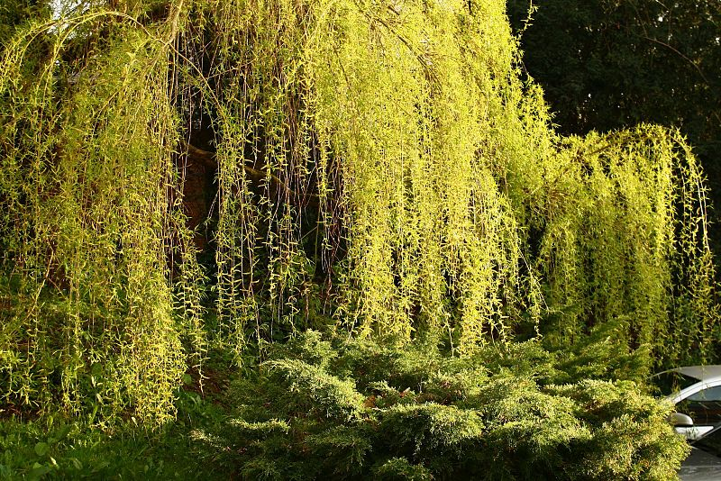 A willow tree