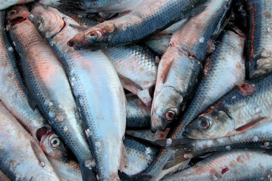 Atlantic herring are believed to be especially susceptible to noise generated by piling during spawning periods (pic credit: Wikimedia Commons/Atle Grimsby)