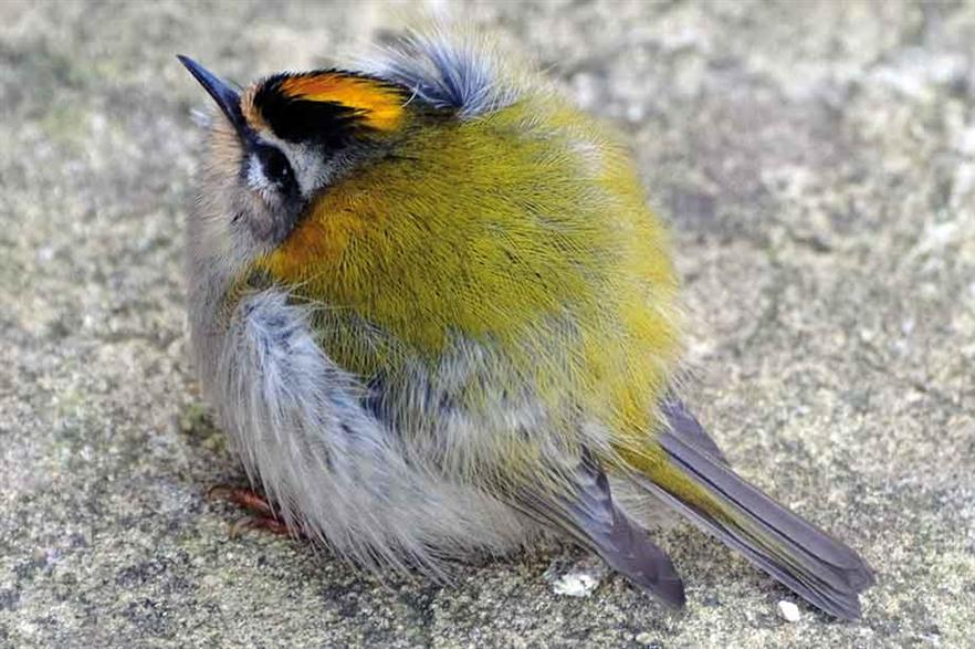 Casualty… Firecrests had one of the highest bodycounts in the study (pic: Jacob Arnold)