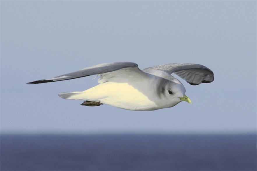Ørsted introduced mitigating measures to Hornsea 3 plans to address concerns about protected Kittiwakes (pic: wikimediacommons)