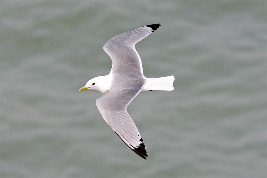 The government's adviser had warned about the projects' risks to local bird populations, including kittiwakes (pic credit: Ron Knight)