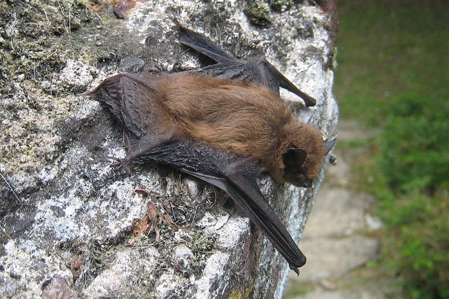 Common Pipistrelle bats account for more than half of all bat fatalities at turbine sites across Europe (pic: Wikipedia Commons/Tisserant)