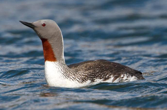 The surveys will monitor behaviours of the Red Throated Diver