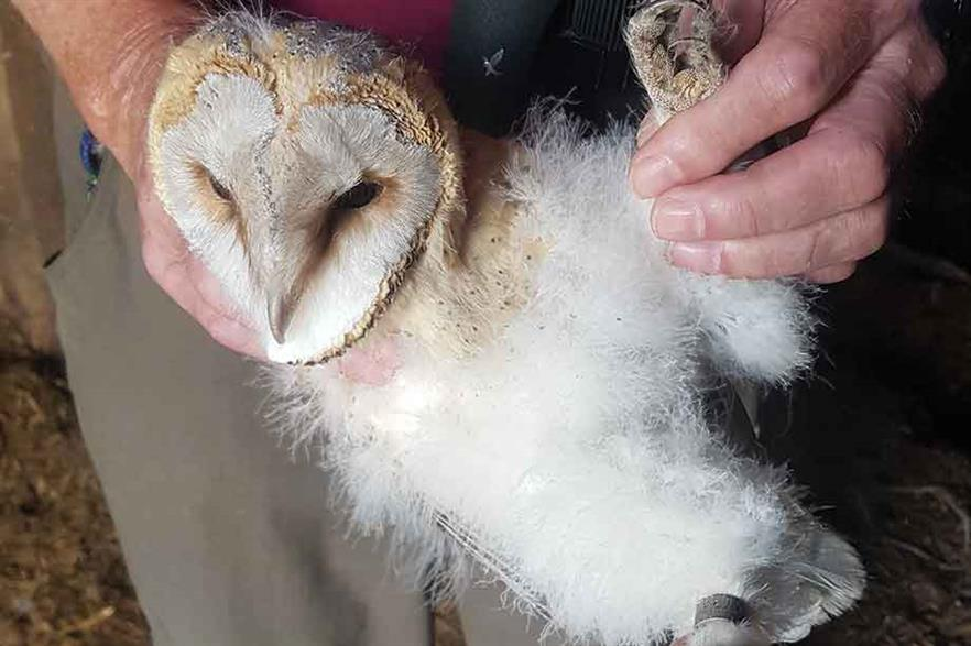New home… A barn owl at Crystal Rig is being ringed for identification purposes (pic: Natural Power)