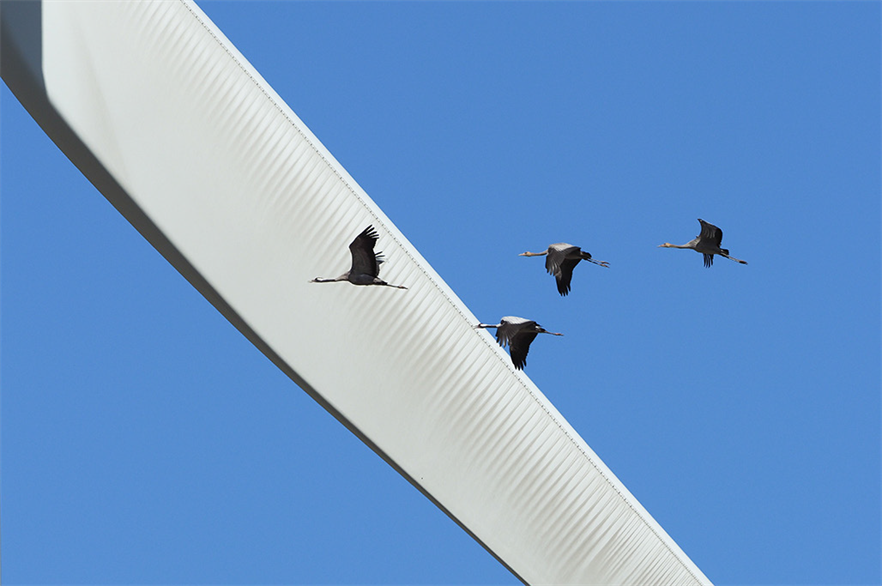 housands of birds fly past the wind farm in both the morning and the evening during the winter period, Vattenfall stated