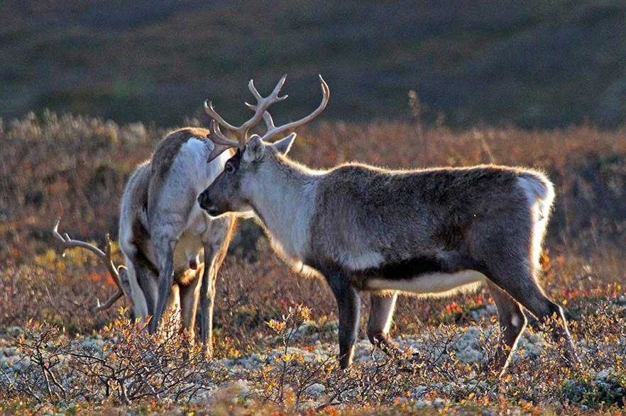 During Fosen's construction, local reindeer herders claimed the turbines damaged their pastures (pic: Enra/pixabay)