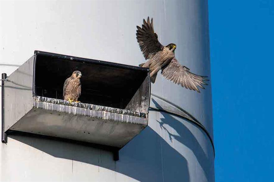 Peregrine falcons, and kestrels before them, have been using a breeding box mounted on a wind turbine in Germany for more than a decade without a single bird death (pic: Heinz Mertineit/Naturschutzteam Gütersloh)