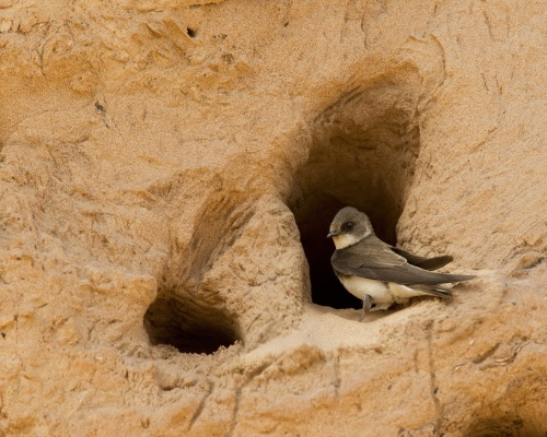 Sand martins nesting in quarry. Picture: Cemex