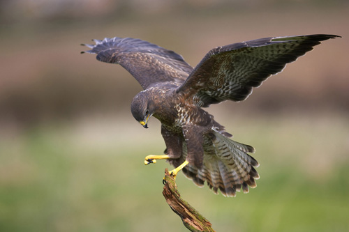 Common Buzzard: found on 27% of CEMEX sites (Image credit: Steve Knell)