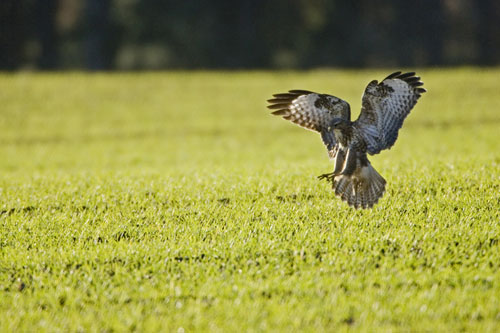 Survey shows quarries support birds such as buzzards