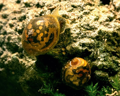 Decline in freshwaters threaten formerly plentiful species such as the glutinous snail. Credit: Roy Anderson