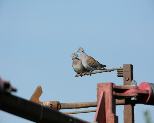 Turtle dove Streptopelia turtur, on agricultural machinery in Essex. Picture: Andy Hay