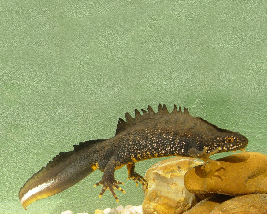Helping the homeless: male great crested newt. Picture: Jim Foster/Natural England